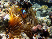 Anemone fish among coral — Stock Photo