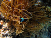 Peixe escondido — Foto Stock