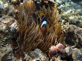 Single anemone fish — Stock Photo