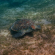 Sea turtle eats — Stockfoto
