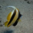 Yellow black fish great view — Foto Stock