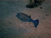 Blue boxfish — Stock Photo