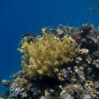 Large yellow coral — Stockfoto