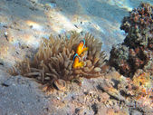 Two anemone fish hiding — Stock Photo