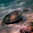 Sea turtle on seabed — Stock Photo