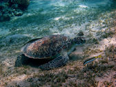 Balık ve deniz kaplumbağası — Stok fotoğraf