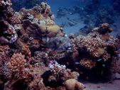 Kugelfisch im riff — Photo