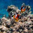 Two red sea anemone fish — Stock Photo