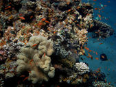 Coral reef in egypt — Stock Photo