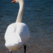Swan on the lake — Foto Stock
