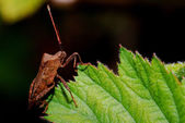 Brown bug on leaf — Stock Photo