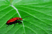 Red beetle on leaf — Stock Photo