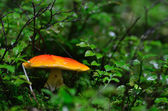 Orange mushroom in the green forest — Stock Photo