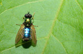 Blue green fly on leaf — Stock Photo