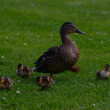 Duck family — Stock Photo