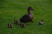 Família pato — Foto Stock