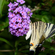 Scarce swallowtail butterfly — Stock Photo #35607561