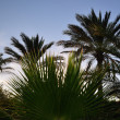 Stock Photo: Many palms