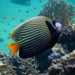 Stock Photo: Angelfish side