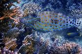 Blue hone fish close — Stock Photo