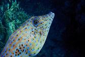 Hone fish in egypt — Stock Photo