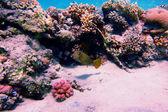 Yellow brown boxfish — Stock Photo