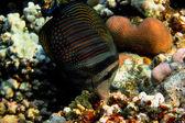 Indian anglefish — Stock Photo