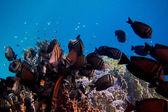 Indian anglefish at the coral — Stock Photo