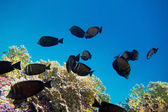 Indian anglefish swim — Stock Photo