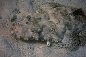 Head of crocodile fish — Stock Photo