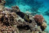 Peacock grouper fish — Stock Photo