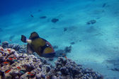 Giant triggerfish and colorful coral — Photo