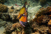 Giant triggerfish swims past — Photo