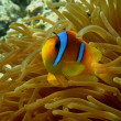 Red sea anemonefish — Stock Photo #37653363