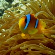 Stock Photo: Red sea anemonefish