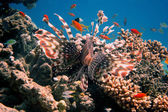 Red lionfish behind — Stock Photo