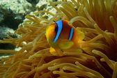 Red sea anemonefish — Stock Photo