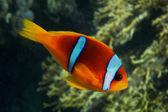 Red sea anemonefish side — Stock Photo