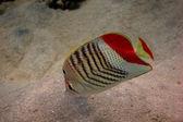 Красное море угол бабочка — Стоковое фото