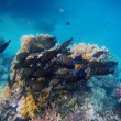 Many indian anglefish at the reef — Stock Photo