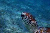 Sea turtle head close — Stock Photo