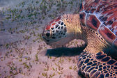 Sea turtle large view — Stock Photo