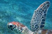 Sea turtle swimming in the sea — Stock Photo