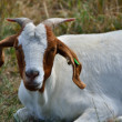 White goat — Stock Photo #39058157
