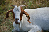 White goat — Stock Photo