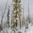 Stock Photo: Larch siberian