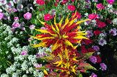 Amaranthus — Stock Photo