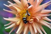 Bumblebee, bee and bug on flower of the dahlia — Stock Photo