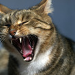 Cat Yawn - Stock Photo