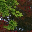 Maple — Stock Photo #41371705
